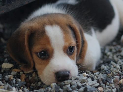 愛犬が石や砂を食べてしまう!