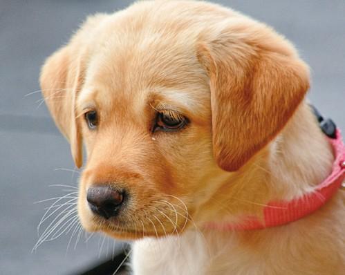 犬の涙!涙を流す原因とは?