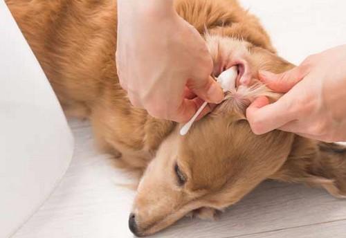 耳が臭い犬は病気?
