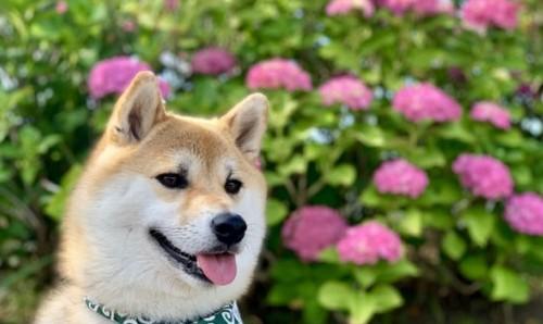犬にあじさい(紫陽花)は危険!