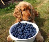 犬にブルーベリーをあげちゃダメ!