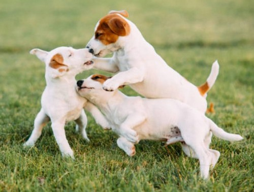 犬は家族を順位付けしているの?