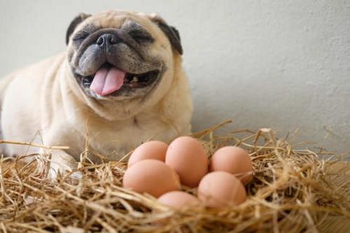 犬は卵を食べても大丈夫?
