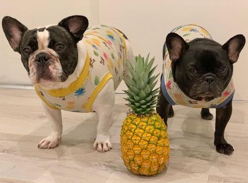 犬はパイナップルを食べても大丈夫!