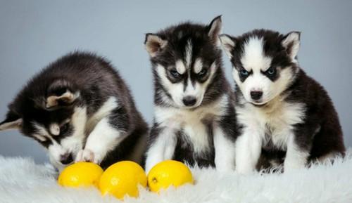 犬はレモンを食べても大丈夫!