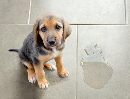 犬がうれしょんをするのはなんで?